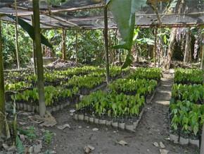 cameroun-120-000-plants-de-cacaoyers-offerts-aux-producteurs-du-département-de-la-lékié