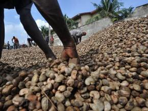 cameroun-la-sodecoton-veut-se-lancer-dans-la-production-et-la-transformation-de-la-noix-de-cajou