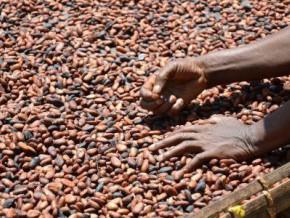 la-crise-dans-les-regions-anglophones-du-cameroun-intensifie-les-exportations-frauduleuses-du-cacao-vers-le-nigeria