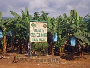 le-cameroun-a-exporté-206-391-tonnes-de-bananes-au-31-octobre-2014