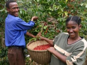 les-exportations-de-café-au-cameroun-en-baisse-de-plus-de-100-tonnes-sur-les-quatre-premiers-mois-de-campagne