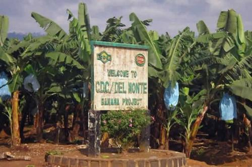Banana sector: Cameroon's second largest employer, CDC is slow to regain its marks, 2 months after resuming activities