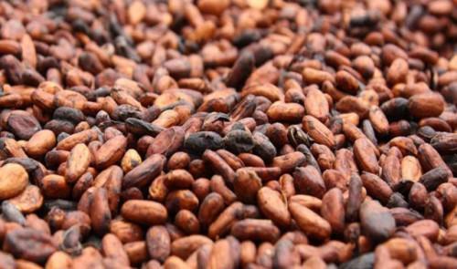 Cameroun : remontée de la transformation du cacao et meilleures perspectives sur un an, avec l'entrée en scène d'Atlantic Cocoa