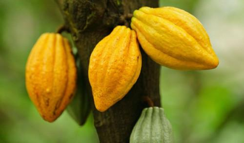 Le prix bord champ du cacao au Cameroun atteint de nouveau la barre de 1000 FCFA le kilogramme