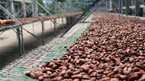 Chute de 80% du commerce du cacao dans la région anglophone du Sud-Ouest, en proie aux revendications séparatistes