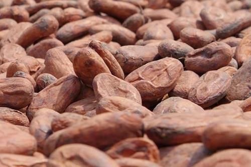Le kilogramme du cacao camerounais gagne 100 FCFA en trois semaines, pour s'établir à un maximum de 1200 FCFA
