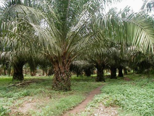 L'Etat signe des accords avec trois entreprises françaises et égyptienne pour restructurer l'agro-industriel camerounais CDC