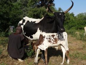 un-camerounais-veut-investir-9-milliards-de-fcfa-dans-la-production-du-biogaz-et-des-produits-laitiers-dans-le-septentrion