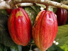 a-plus-de-1000-fcfa-le-prix-bord-champ-du-kilogramme-de-cacao-au-cameroun-resiste-bien-a-l-arrivee-des-pluies