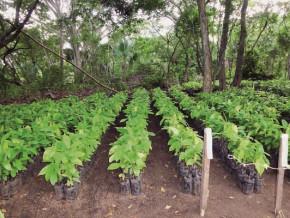 en-raison-des-changements-climatiques-le-cameroun-perd-40-a-50-jeunes-plants-de-cacaoyers-par-an