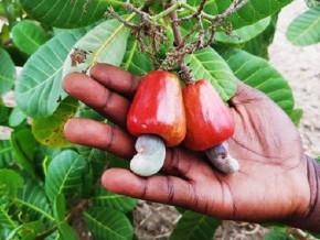 une-cargaison-de-60-000-plants-d-anacardiers-distribuee-aux-agriculteurs-de-la-region-de-l-adamaoua