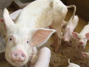 peste-porcine-apres-trois-mois-de-restrictions-les-eleveurs-de-porcs-de-l-ouest-peuvent-renouer-avec-leurs-activites