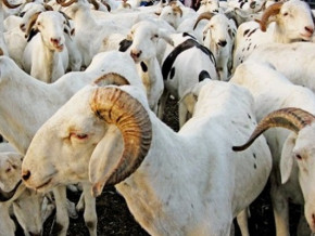 le-cameroun-lance-des-le-7-aout-2019-une-campagne-de-vaccination-gratuite-contre-la-peste-des-chevres-et-moutons