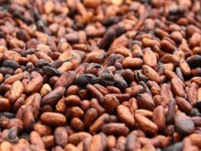 cameroun-remontee-de-la-transformation-du-cacao-et-meilleures-perspectives-sur-un-an-avec-l-entree-en-scene-d-atlantic-cocoa
