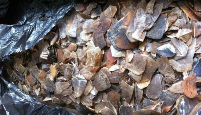 des-trafiquants-presumes-arretes-en-possession-de-300-kg-d-ivoire-et-2-5-tonnes-d-ecailles-de-pangolin-a-douala
