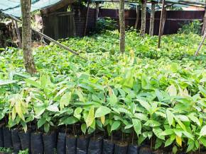 en-2020-le-cameroun-annonce-la-distribution-de-6-millions-de-plants-de-cacaoyers-aux-producteurs