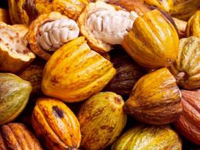 en-depit-des-troubles-dans-l-un-des-plus-grands-bassins-du-cameroun-la-production-cacaoyere-a-bondi-de-plus-de-20-000-tonnes-en-2017-2018