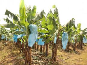 en-raison-de-la-crise-anglophone-au-cameroun-les-chiffres-d-affaires-de-pamol-et-cdc-chutent-de-83-9-et-60-9-entre-2016-et-2018