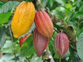 cameroun-malgre-la-crise-anglophone-fitch-solutions-anticipe-une-production-cacaoyere-de-245-000-tonnes-pour-la-campagne-2018-2019
