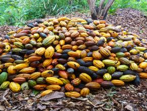 a-fin-mai-2018-les-tensions-dans-les-regions-anglophones-du-cameroun-ont-fait-chuter-de-10-les-exportations-de-feves-de-cacao