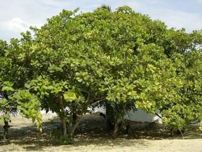 le-cameroun-va-planter-1-250-anacardiers-a-sanguere-berceau-de-cette-culture-de-rente-dans-le-pays