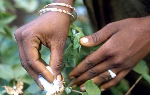 les-essais-sur-la-culture-du-coton-transgenique-au-cameroun-livreront-leurs-resultats-definitifs-au-cours-de-cette-annee-2018