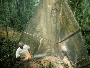 greenpeace-appelle-au-rejet-de-la-demande-de-reduction-d-impot-du-groupement-de-la-filiere-bois-du-cameroun