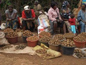 au-cameroun-les-regions-de-l-ouest-et-du-nord-ouest-cumulent-80-de-la-production-nationale-de-la-pomme-de-terre