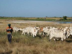 les-campagnes-de-vaccination-des-betes-reprennent-dans-l-extreme-nord-du-cameroun-dont-le-secteur-de-l-elevage-a-ete-ravage-par-boko-haram