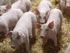 westend-farms-inaugure-son-projet-integre-de-production-et-de-commercialisation-de-la-viande-de-porc-au-cameroun