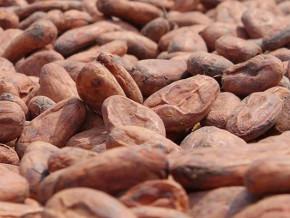 le-debut-de-la-saison-des-pluies-provoque-une-legere-baisse-du-prix-du-kilogramme-de-cacao-au-cameroun