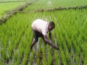 prescriptions-d-une-commission-gouvernementale-pour-redynamiser-la-semry-dans-la-production-du-riz-au-cameroun
