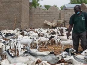 pour-reconstituer-les-cheptels-detruits-par-boko-haram-2000-petits-ruminants-offerts-aux-familles-de-l-extreme-nord-du-cameroun