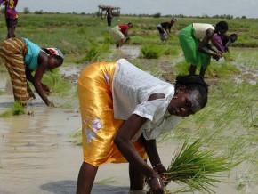 le-cameroun-cherche-des-investisseurs-pour-un-projet-de-riziculture-sur-plus-de-10-000-hectares-dans-l-extreme-nord