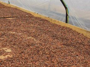 cacao-le-prix-minimum-du-kilogramme-de-la-feve-au-cameroun-repasse-au-dessus-de-la-barre-de-1000-fcfa