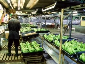 la-baisse-de-regime-a-la-php-fait-chuter-de-plus-de-13-000-tonnes-les-exportations-de-la-banane-camerounaise-au-1er-trimestre-2020