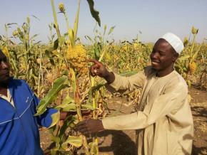 la-chaine-d-approvisionnement-en-sorgho-de-guinness-cameroun-permet-a-environ-6000-personnes-de-gagner-leur-vie