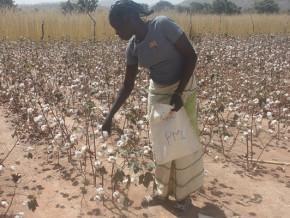 les-premieres-indemnisations-versees-aux-producteurs-camerounais-de-coton-au-titre-de-l-assurance-agricole-indicielle