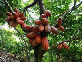 la-production-cacaoyere-au-cameroun-annoncee-a-330-000-tonnes-en-2023-soit-la-moitie-des-600-000-tonnes-projetees-en-2020