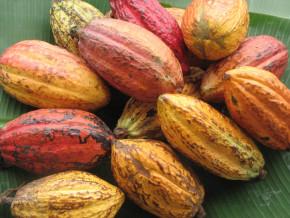 le-cacao-camerounais-bientot-labelise-pure-origine-en-collaboration-avec-les-chocolatiers-francais