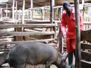 peste-porcine-apres-avoir-decime-22-5-du-cheptel-l-epizootie-est-desormais-maitrisee-a-l-ouest-du-cameroun