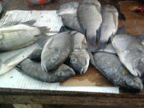 cameroun-la-fin-de-la-periode-de-repos-biologique-sur-le-fleuve-benoue-ramene-le-poisson-sur-les-etals-des-marches-de-la-region-du-nord