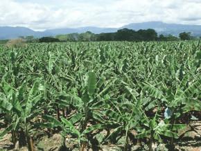 en-2020-le-gouvernement-va-couvrir-10-des-besoins-du-cameroun-en-plants-de-bananiers-plantains