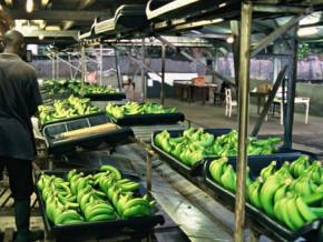 le-cameroun-a-exporte-17-137-tonnes-de-bananes-en-novembre-2018