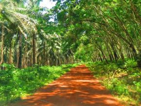 au-cameroun-l-agro-industriel-safacam-etendra-ses-plantations-de-palmiers-a-huile-et-d-hevea-sur-2000-hectares-a-dizangue