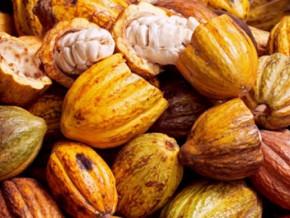 malgre-la-grande-saison-des-pluies-le-prix-du-cacao-camerounais-resiste-depuis-le-20-septembre-2019-a-1080-fcfa-le-kg