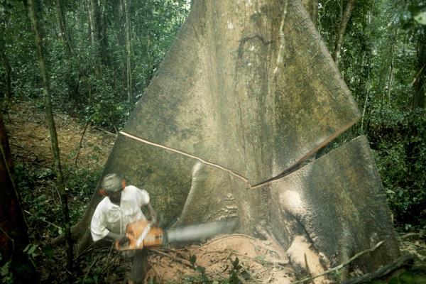 exploitation-forestiere-le-cameroun-veut-mettre-en-concession-57-190-hectares-de-foret-dans-le-nkam-et-le-donga-mantug