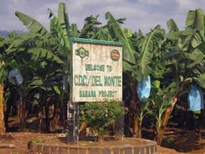 filiere-banane-2e-employeur-du-cameroun-la-cdc-tarde-a-reprendre-ses-marques-4-mois-apres-la-reprise-des-activites