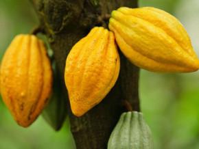 le-prix-bord-champ-du-cacao-au-cameroun-atteint-de-nouveau-la-barre-de-1000-fcfa-le-kilogramme