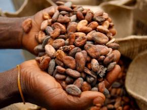 la-saison-des-pluies-provoque-une-degringolade-des-prix-bord-champs-du-cacao-au-cameroun